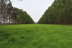 pasto ladeada de árvores de eucalipto